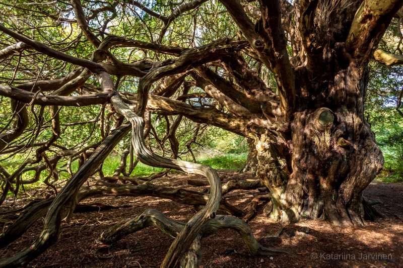 gnarled yew tree HDR photography