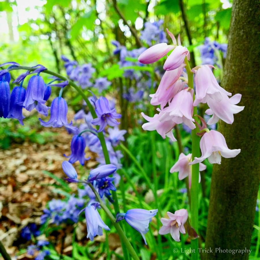 pink bluebells pinkbells