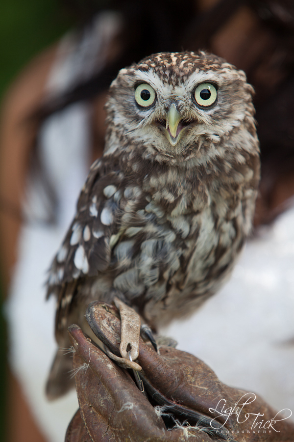 Little Owl as the ring bearer at a wedding