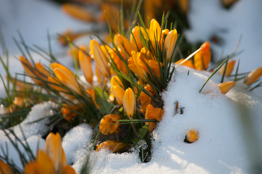 crocuses in snow