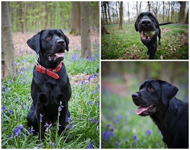 Black Labrador, pet portrait, bluebells