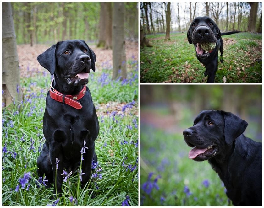 Black Labrador, pet portrait, bluebells