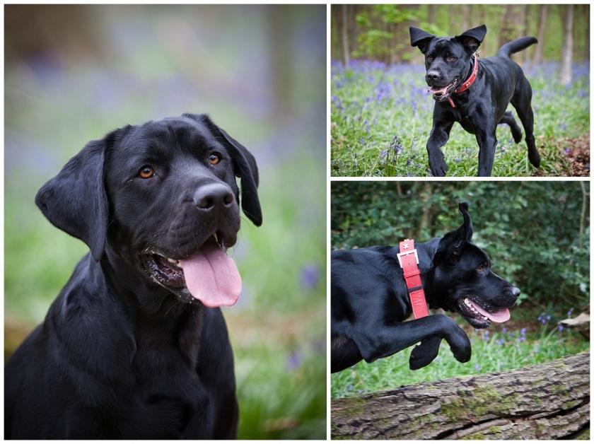 Portrait of a black Labrador Retriever