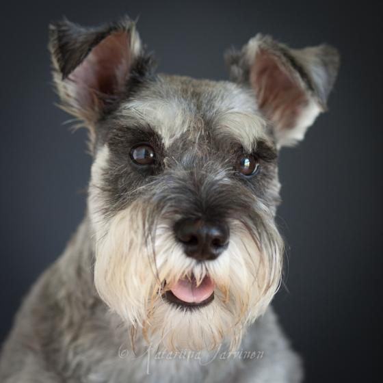 portrait of a Schnauzer