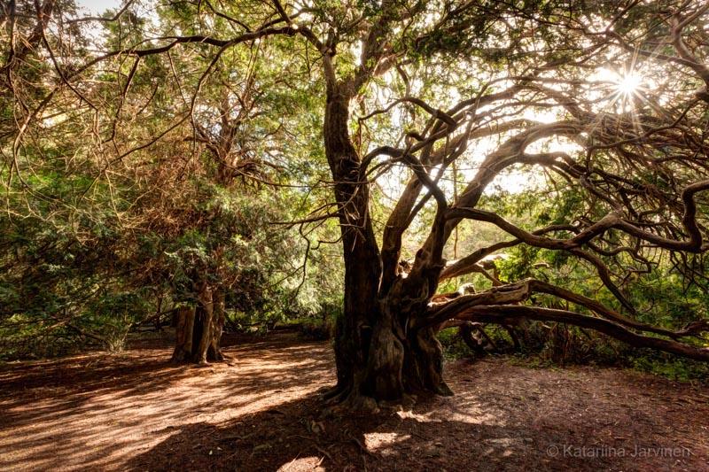 Kingley Vale yew tree contre-jour