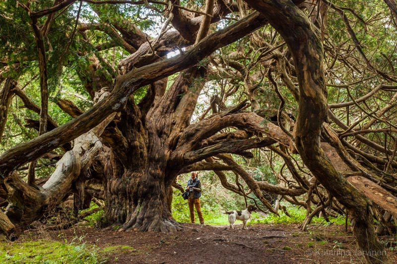 huge yew tree and man and dog