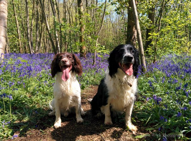 springer spaniels in bluebell woods