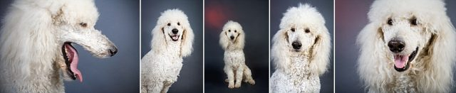 giant-poodle-studio-portrtait-collage